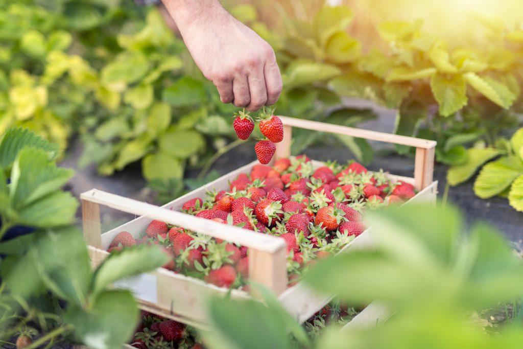 cadette de fraises